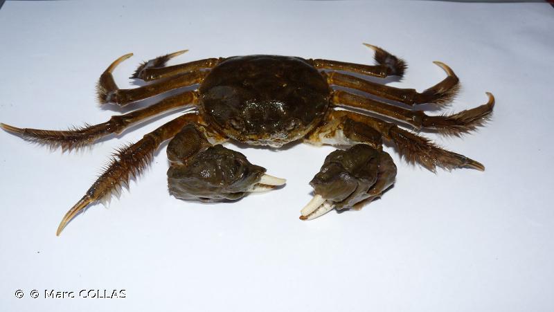 Crabe chinois