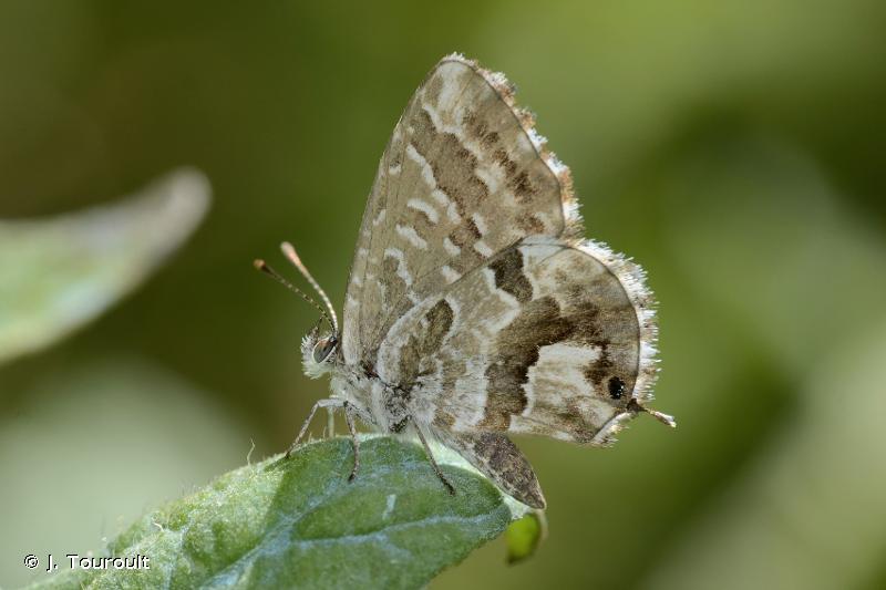 Brun du Pelargonium